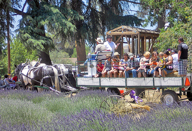 Lavender Festival California